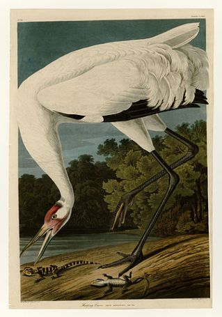Plate 226 of Birds of America by John James Audubon depicting Hooping Crane (1827 - 1838), [Public domain] via Wikimedia Commons