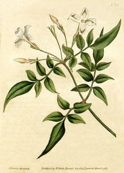 """Jasminum officinale - Bot. Mag. 31, 1787"" by Botanical Magazine - Botanical Magazine 31. Licensed under Public domain via Wikimedia Commons - http://commons.wikimedia.org/wiki/File:Jasminum_officinale_-_Bot._Mag._31,_1787.jpg#mediaviewer/File:Jasminum_officinale_-_Bot._Mag._31,_1787.jpg"