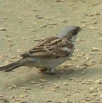Chorui_Bird_in_Mymensingh