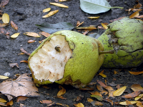 pear-rotting-fruit-12065107-l